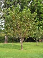 Персик взрослое дерево
