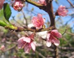Персик Вайн Голд цветы