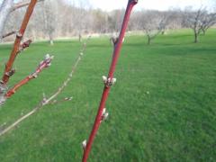 Персик Вайн Голд весной