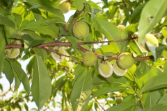 Prunus persica Vine Gold