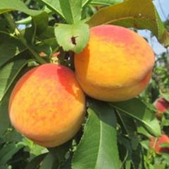 Персик Золотое Вино плоды