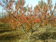 Дерево персика осенью