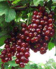 Смородина красная Чародейка (поздняя)<br>Смородина червона Чародійка (пізня)<br>Ribes rubrum Charodyka