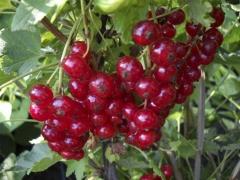 Смородина красная Чародейка ягоды