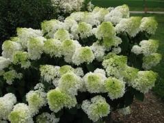Гортензия Сильвер Доллар цветы