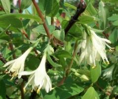 Жимолость съедобная цветение