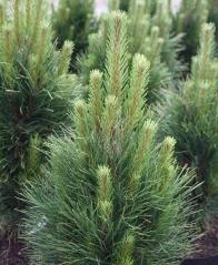Сосна чёрная / австрийская Грин Тауэр<br>Сосна чорна / австрійська Грін Тауер<br>Pinus nigra Green Tower