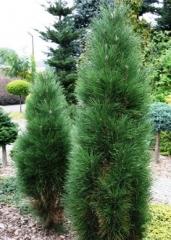 Сосна австрийская Green Tower  дерево