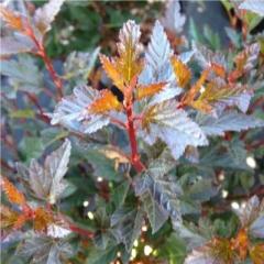 Пузыреплодник Литл Девил листья