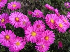 Астра кустовая Аннеке цветы