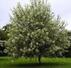 Черёмуха обыкновенная<br>Черемха звичайна<br>Prunus padus