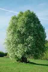 Черёмуха обыкновенная дерево