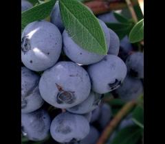 Голубика высокорослая Бонус ягоды