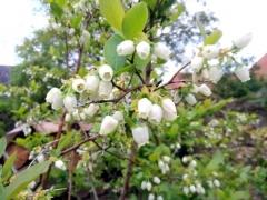 Голубика высокорослая Бонус цветение