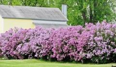 Сирень обыкновенная Аукубофолия цветение