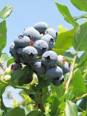 Голубика высокорослая Чандлер ягоды