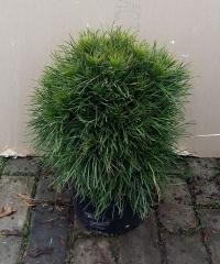 Сосна обыкновенная Глобоза на штамбе<br>Сосна звичайна Глобоза на штамбі<br>Pinus sylvestris Globosa on shtambe