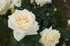Роза вьющаяся Шневальцер