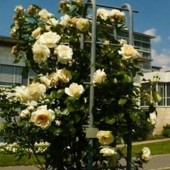 Роза вьющаяся Шнивальзер