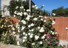 Роза плетистая Шневальцер<br>Троянда плетиста Шневальцер<br>Rose climber Schneewalzer