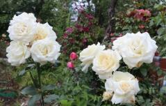 Роза Шнивальцер цветы