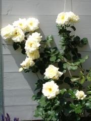 Роза Schneewalzer