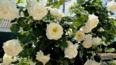 Роза вьющаяся Шнивальзер бутоны