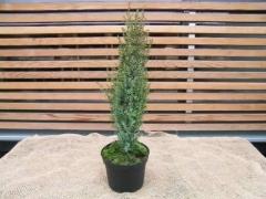 Juniperus 'Arnold'