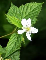 Малина ремонтантная Зюгана цветок