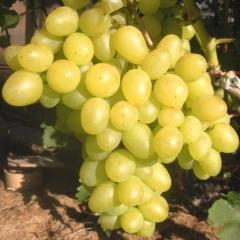 Виноград столовый Настя