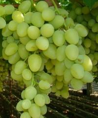 Vitis vinifera Arkadiya