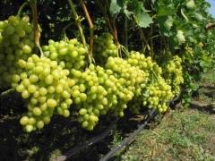 Виноград столовый Аркадия посадка