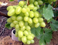 Виноград столовый Аркадия грона