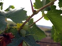 Виноград Аркадия лиана