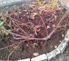 Виноград столовый Аркадия подготовка к зиме