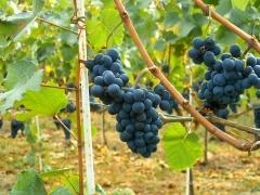 Виноград Молдова ягоды
