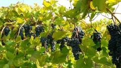 Виноград поздний Молдова плоды