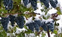 Vitis vinifera Moldova