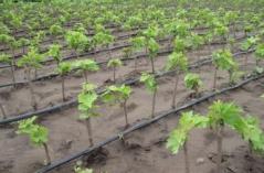 Виноград Молдова саженцы