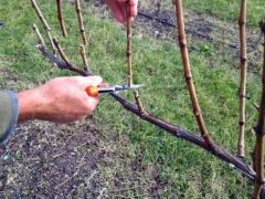 Обрезка винограда Молдова