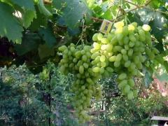 Виноград столовый Подарок Запорожью