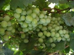 Виноград FVC-3-3