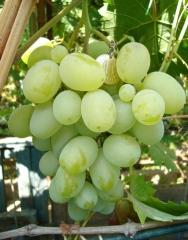 Vitis vinifera Podarok Zaporozhju