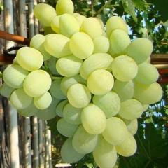 Виноград Podarok Zaporozhju