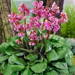 Бадан сердцелистный Ротблюм<br>Бадан серцелистий Ротблюм<br>Bergenia cordifolia Rotblum