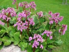 Bergenia cordifolia Rotblum