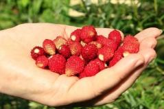 Strawberry Baron Solemacher