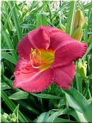 Лилейник гибридный Чарльз Джонстон цветок