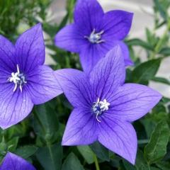 Платикодон крупноцветковый Астра Блю<br>Платикодон великоквітковий Астра Блю<br>Platycodon grandiflorus Astra Blue