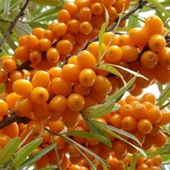 Облепиха Ева плоды